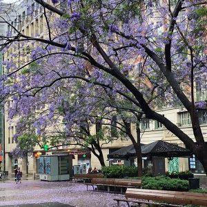purple tree photo from catalunya barcelona